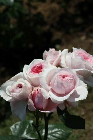 La rose Barbeyrolles