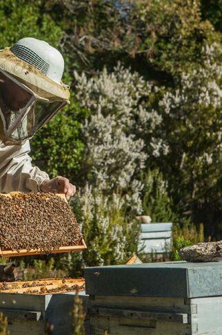 Visite de ruche sur les bruyères en fleurs