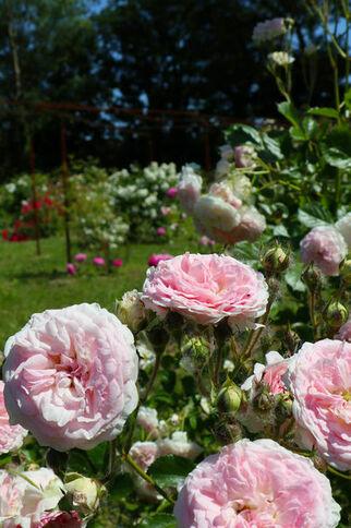 RRoses roses Le Jardin de Gassin Office de tourisme de Gassin http://gassin.eu/