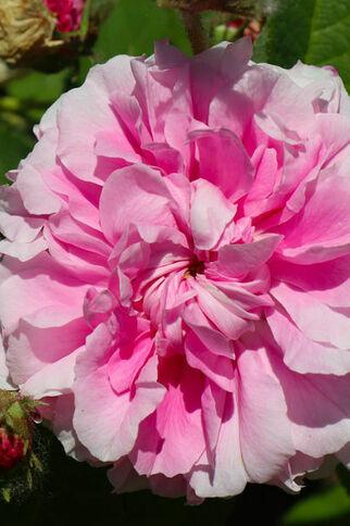 Rose gros plan Le Jardin de Gassin Office de tourisme de Gassin http://gassin.eu/