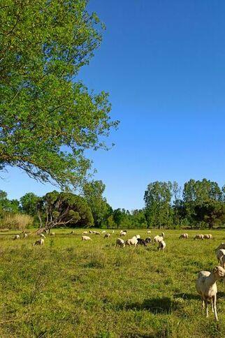 Moutons paissant près des Marines de Gassin https://gassin.eu